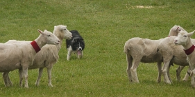 Kingston Sheepdog Trials. For me, studying for certification is like herding sheep.